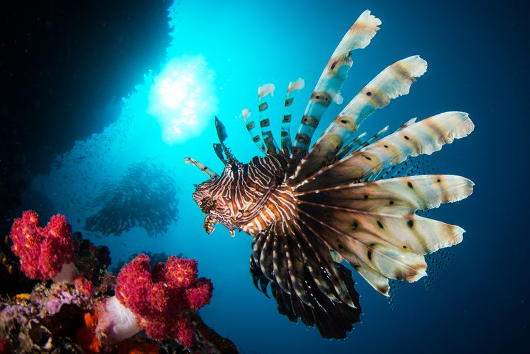 A red lionfish in a bright blue ocean swims near a red coral reef