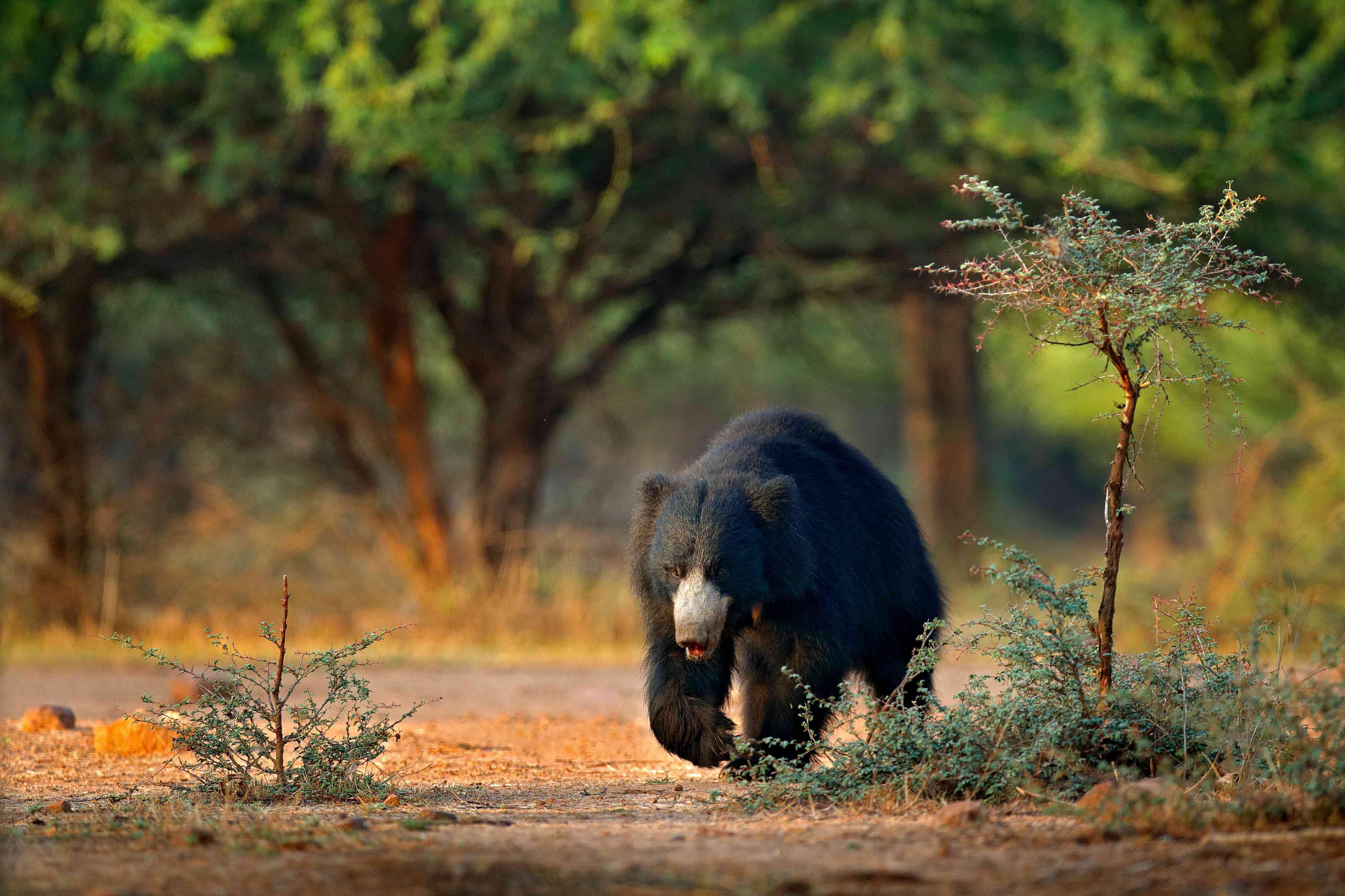 Sloth bear walking in Ranthambore National Park, India