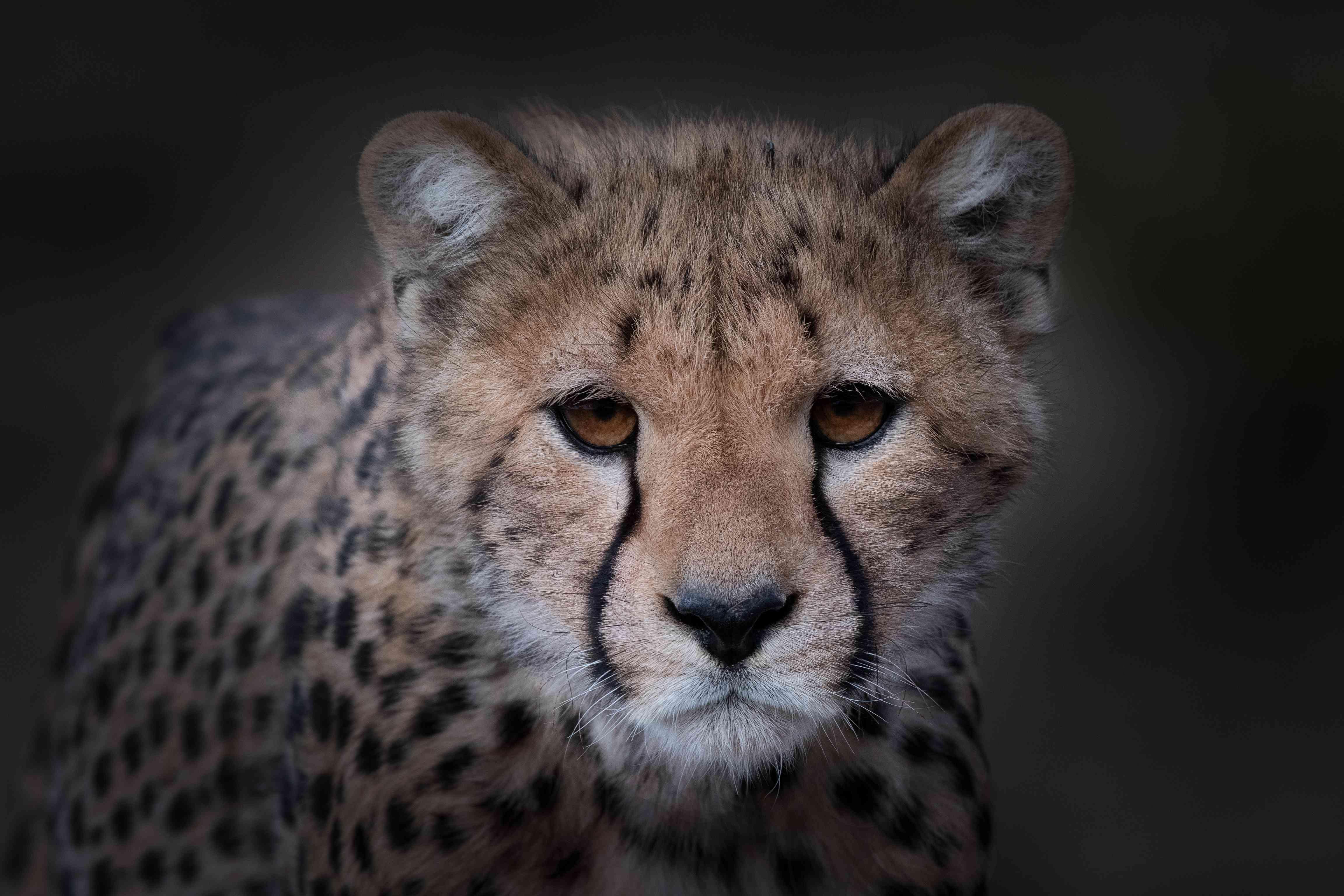Portrait of cheetah (Acinonyx jubatus) cub
