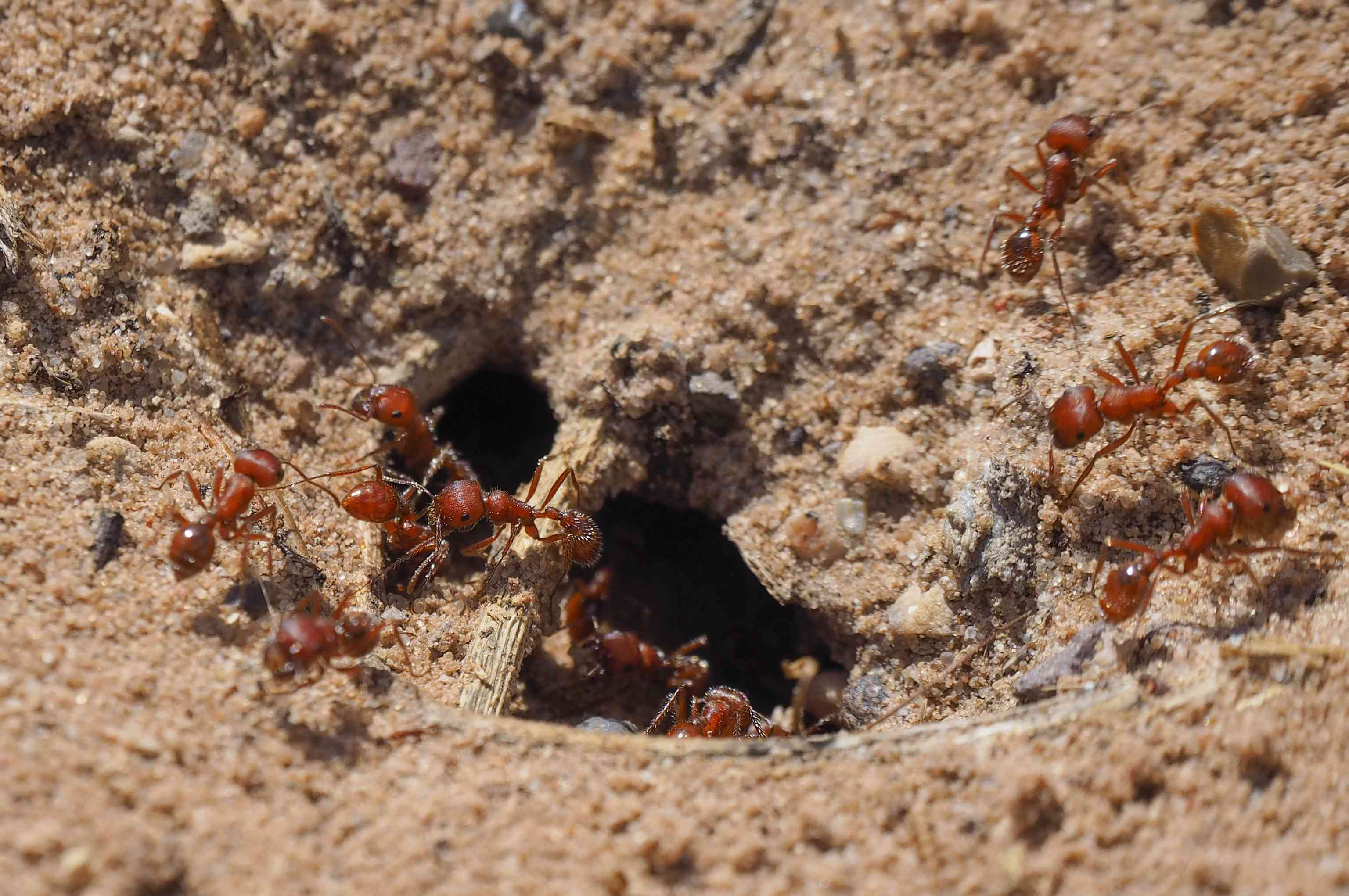Close-up of red ants crawling in and out of an underground ant nest (California, USA)