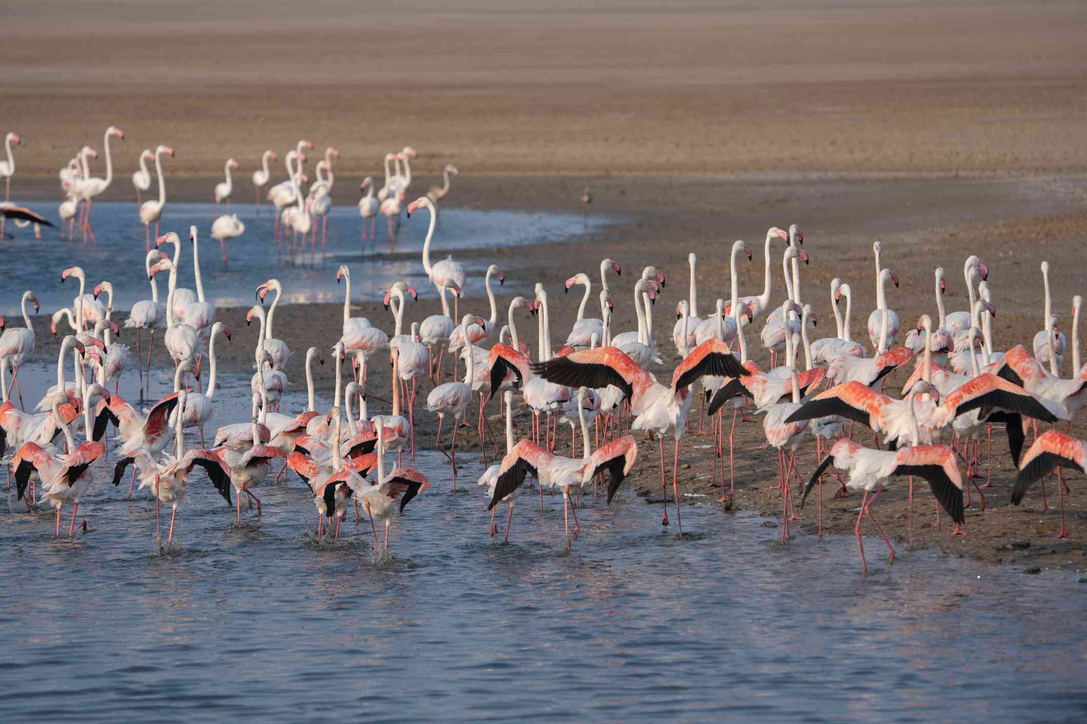 a flock of pink lesser flamingos with black-tipped feathers standing in the wetlands area of Kutch