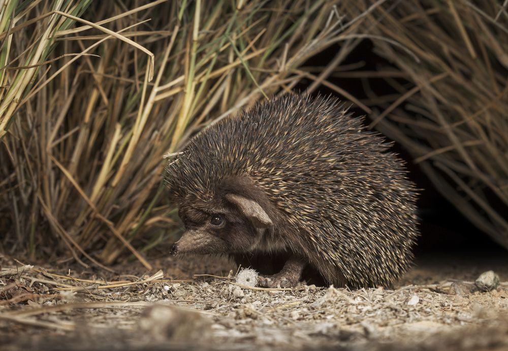 small desert hedgehog sitting among tall grass