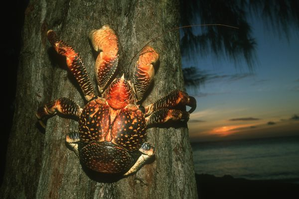 A coconut crab (Birgus latro) on a tree