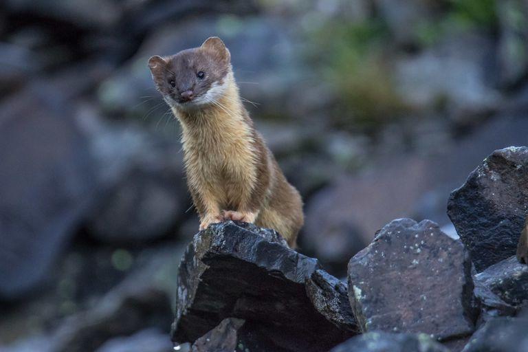 Weasel sitting on a rock