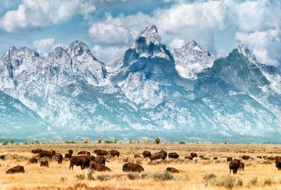 herd of bison on the prairie below the snow-capped Grand Teton Range under a blue sky with white clouds