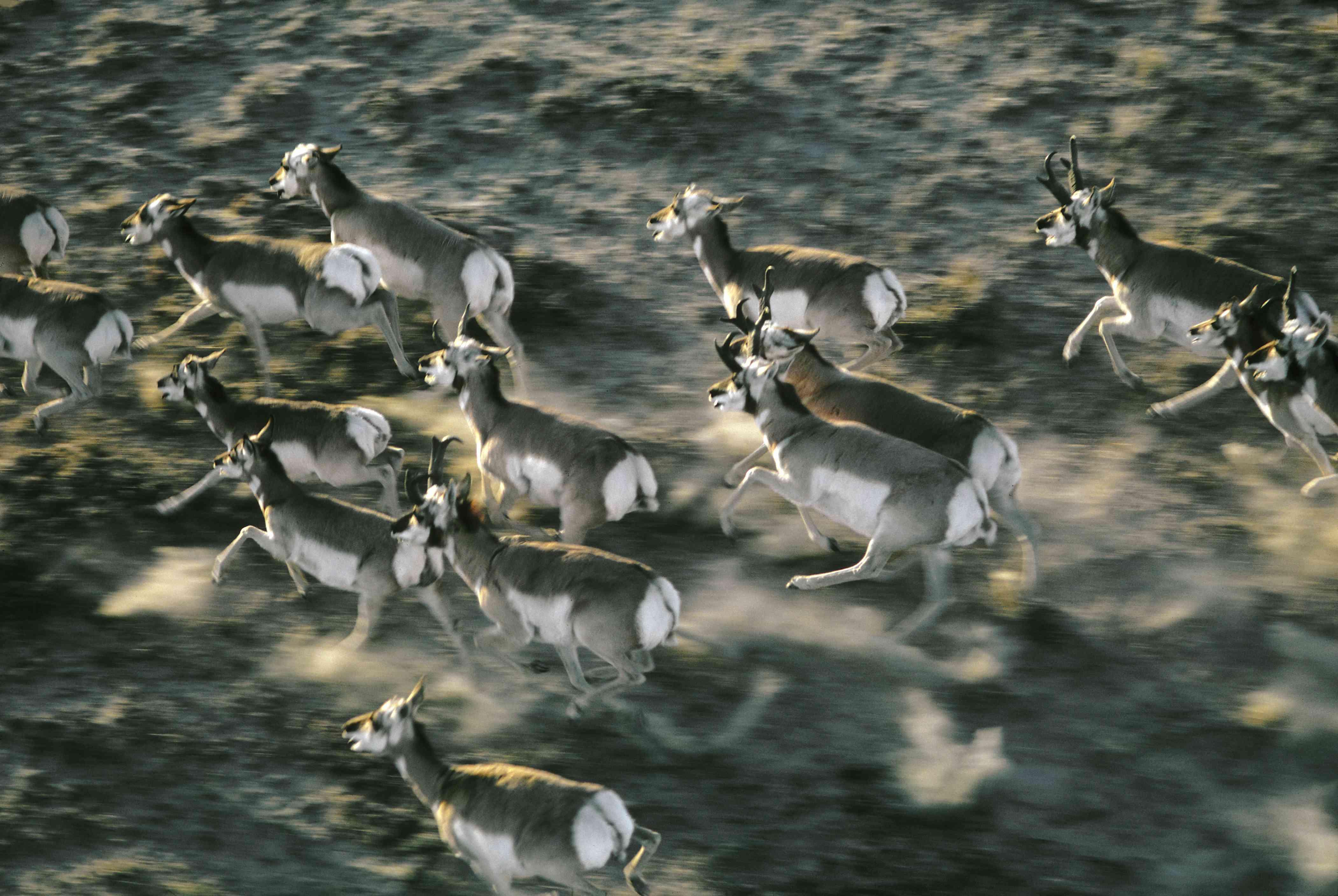 Pronghorns running
