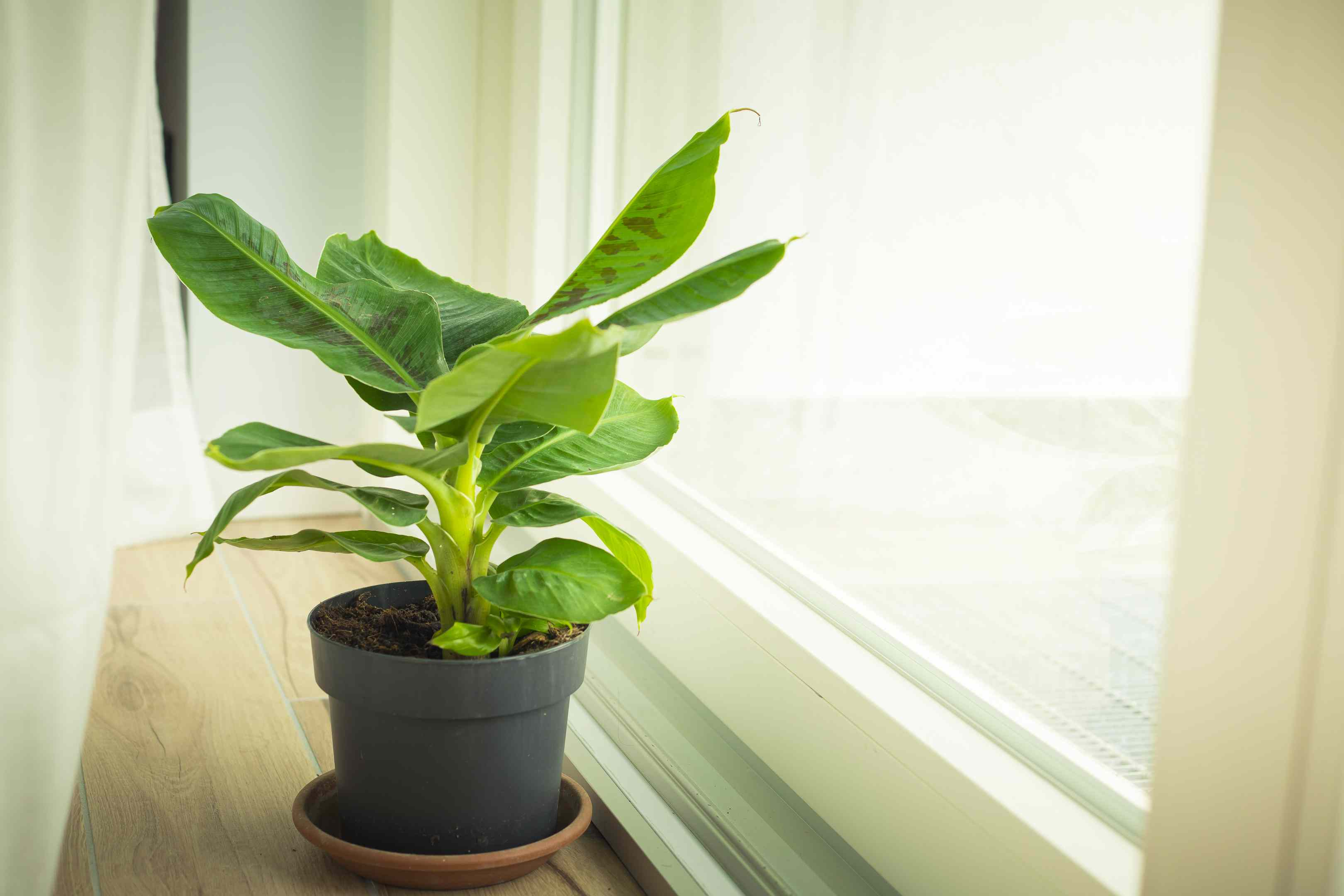 Dwarf banana plant in window