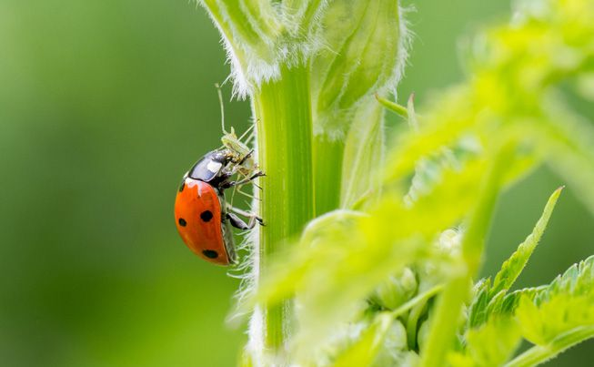A ladybug eating an aphid