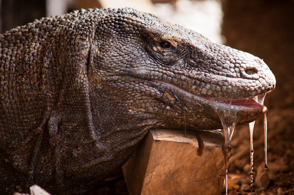 It's only recently that Komodo dragons were discovered to be venomous.