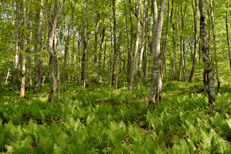 birch tree forest with ferns undergrowth