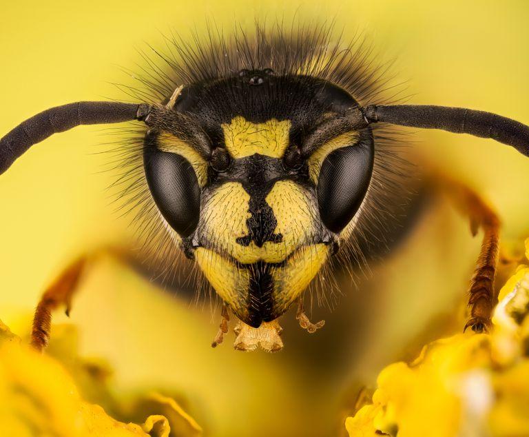close-up photo of common wasp, Vespula vulgaris
