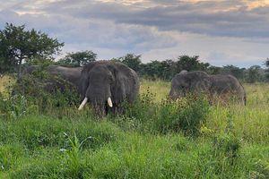 Savannah elephants graze in the park.