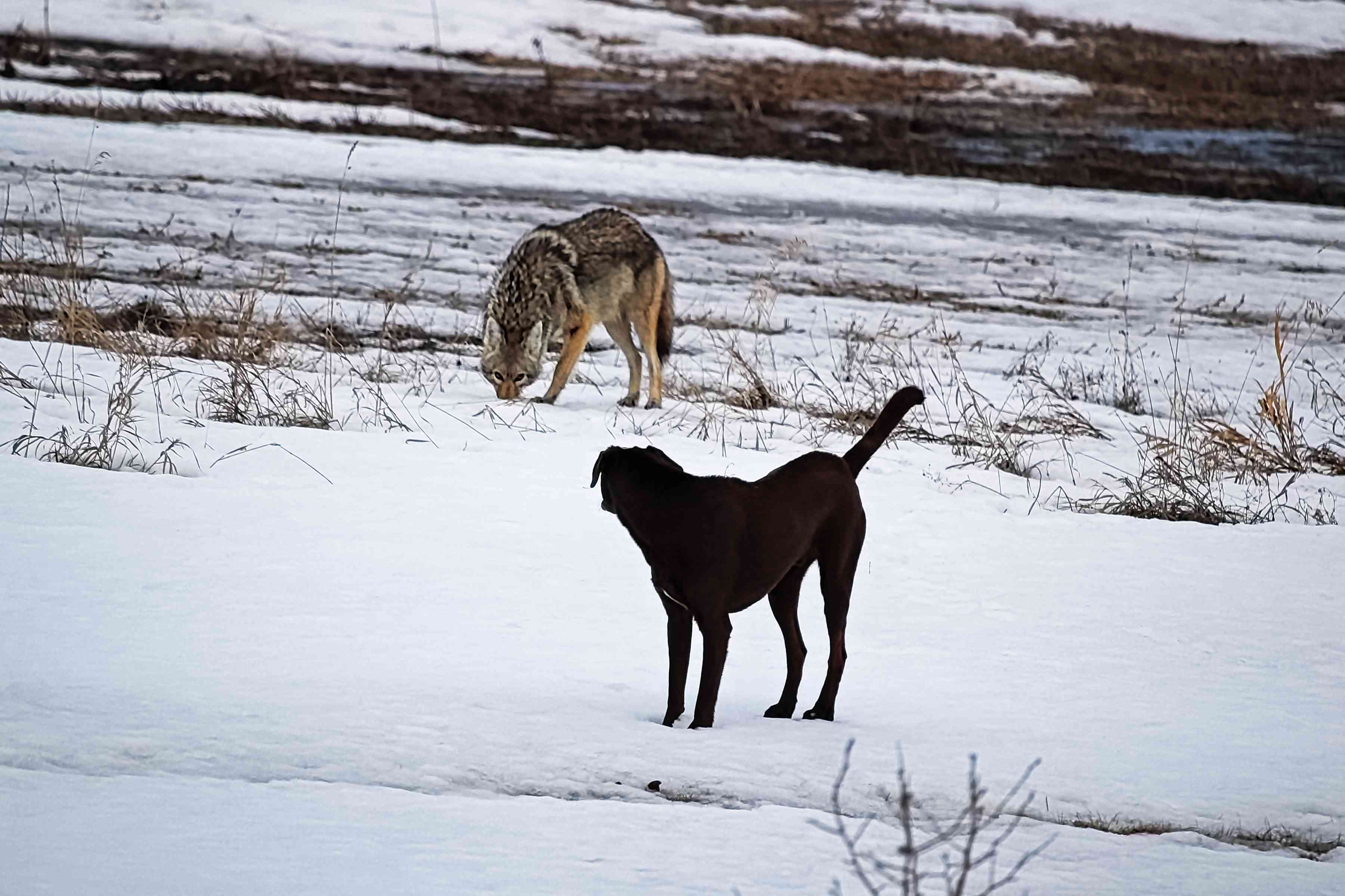 A domestic dog and wild coyote on snow covered landscape