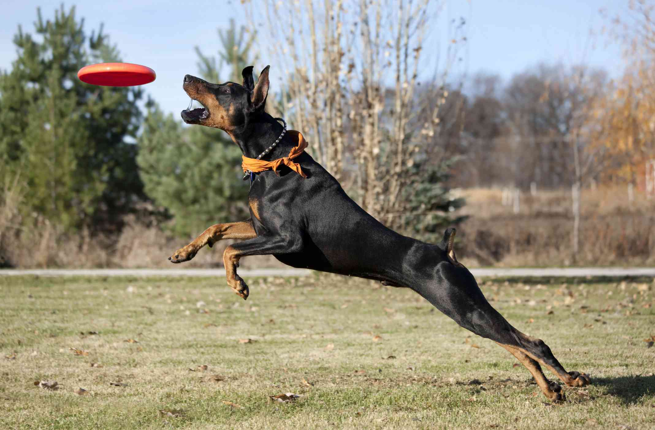 profile of doberman pinscher jumping and reaching to catch res frisbee