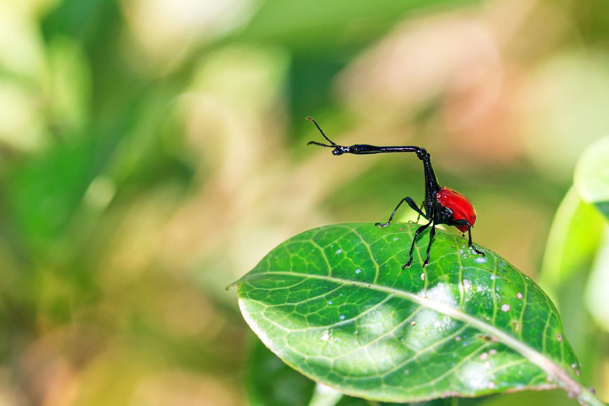 giraffe weevil with red body and black long neck on leaf