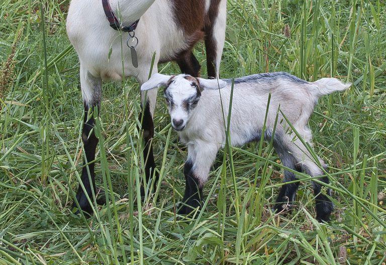 Cómo criar y cuidar cabras bebé