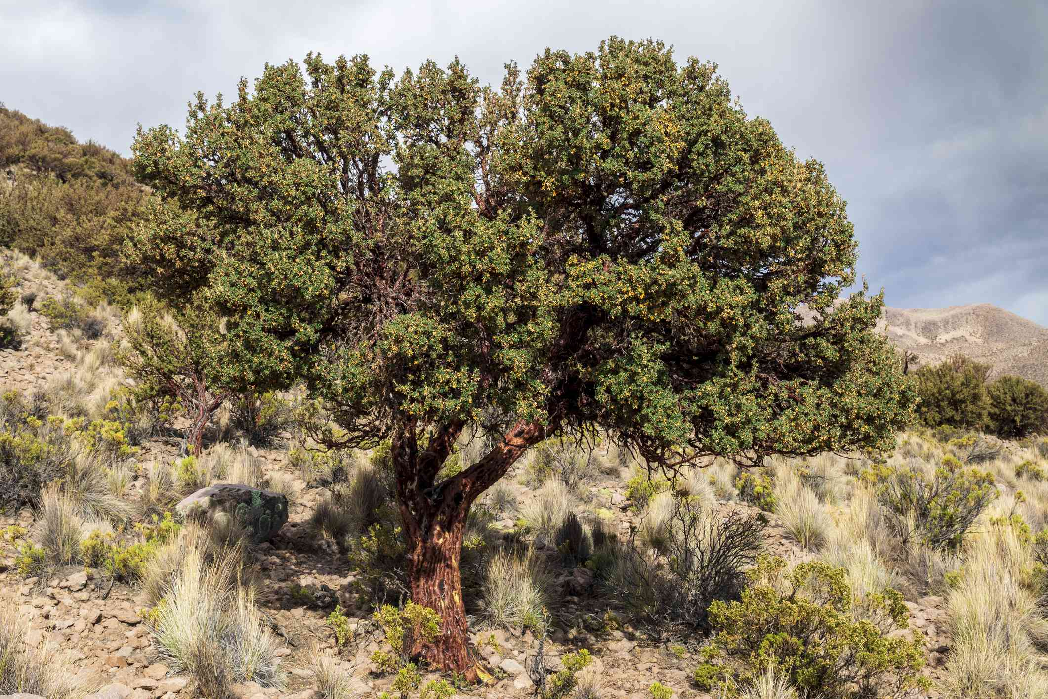 Polylepis tarapacana is tree that grows highest in altitude in the world. Sajama. Bolivia