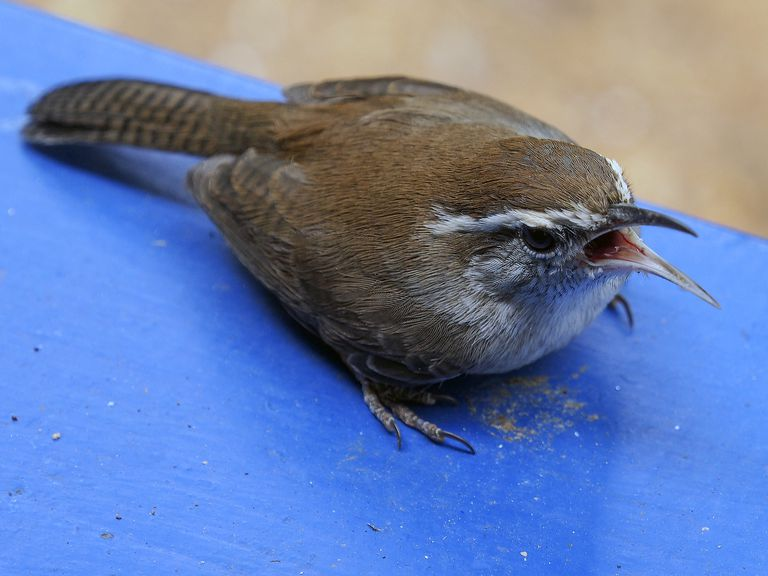 Stunned bewicks wren sitting on a rail with its mouth open