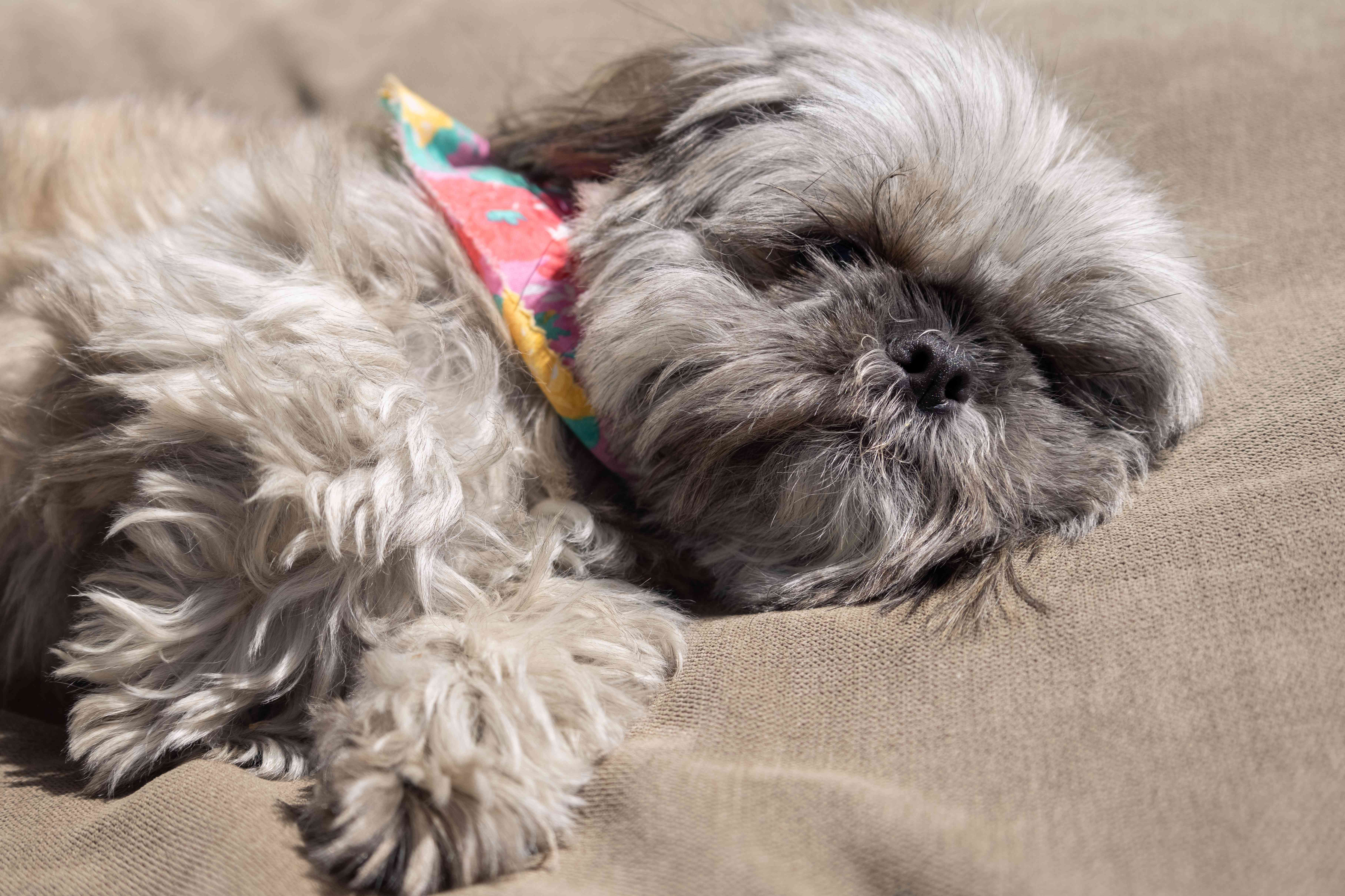 small fluffy gray dog with bandana is fast asleep on tan dog bed