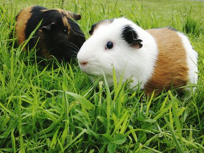 Two guinea pigs, one white with brown fur, and the other black with brown fur, in tall green grass