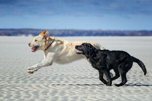 yellow labrador and black labrador running side by side on the beach