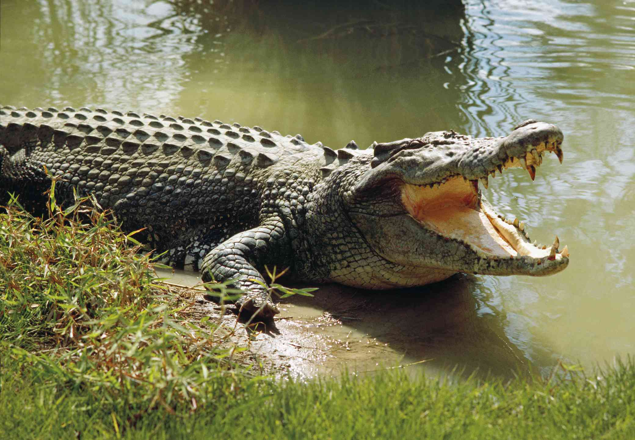 Saltwater crocodile laying on a grassy bank with its mouth open
