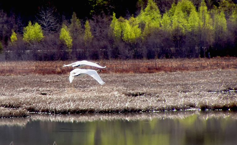 Two swans flying over a lake with trees in the background