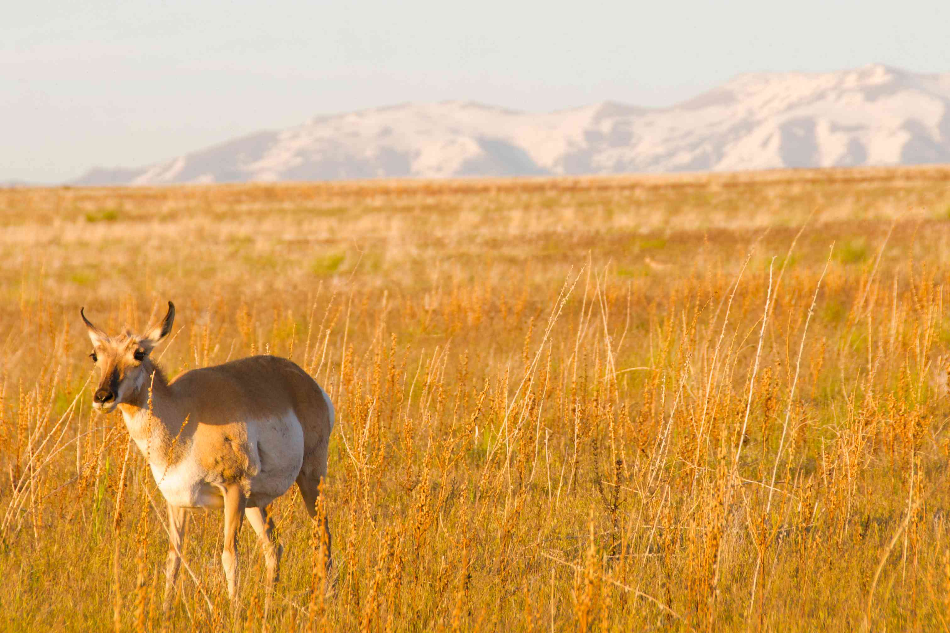 An pronghorn in the fields of Antelope Island State Park