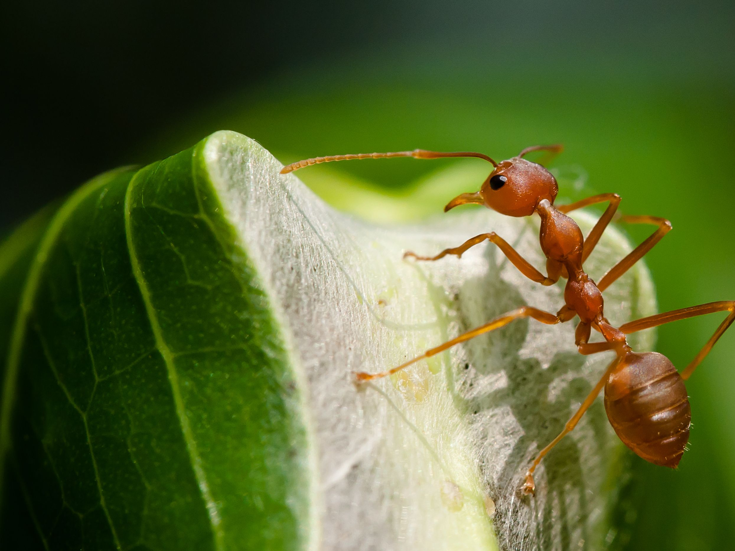 For Safer Cheaper Pest Control Just Add Ants