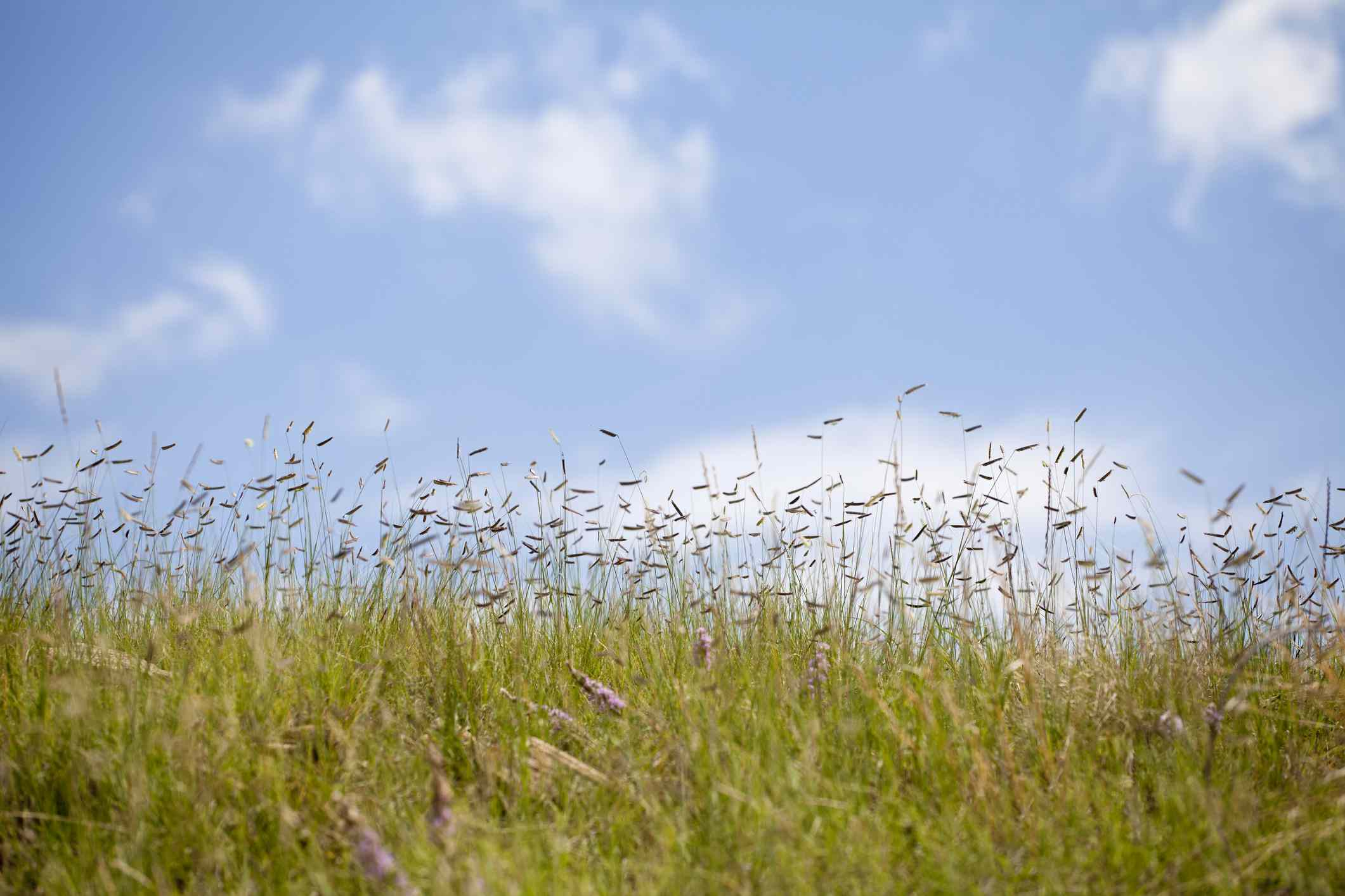 A patch of unmowed grass against a blue sky