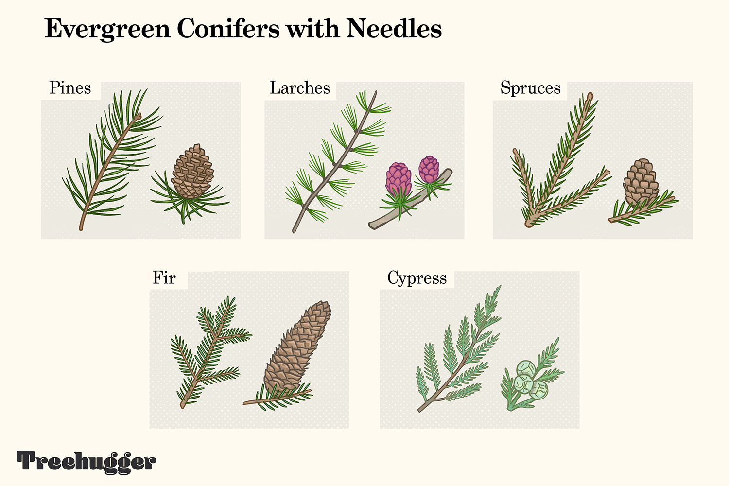 evergreen conifer trees with needle leaves illustration