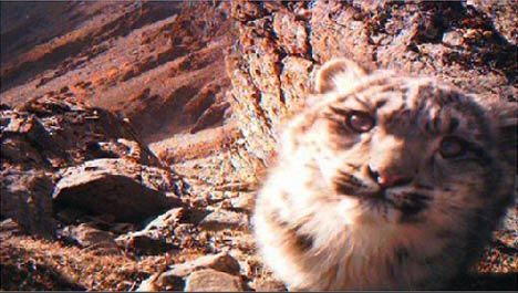 snow leopard cub bhutan image