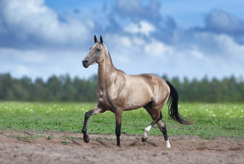 An Akhal-Teke horse trots in a field