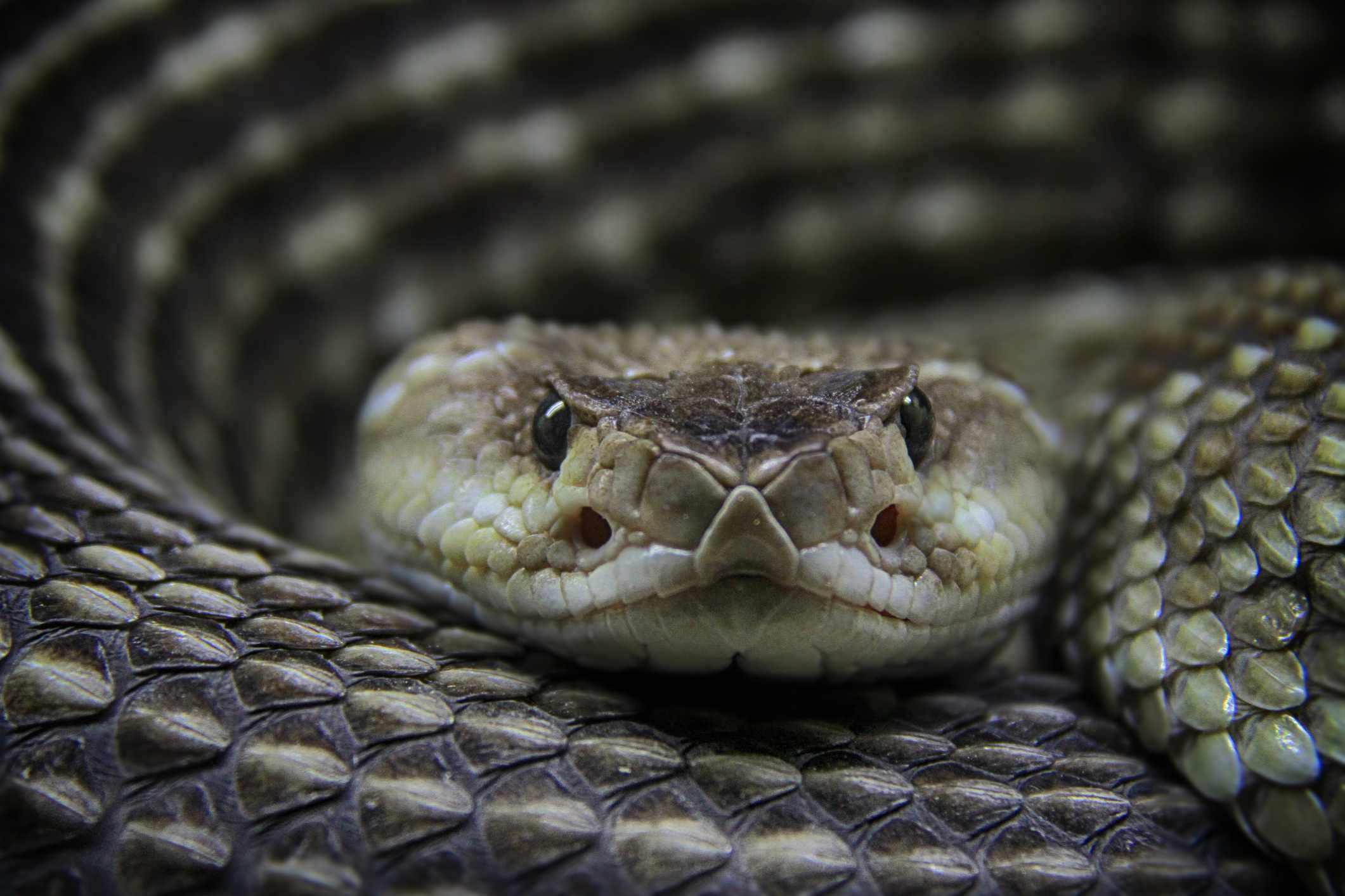 A rattlesnake pit viper its pit organs to sense infrared light