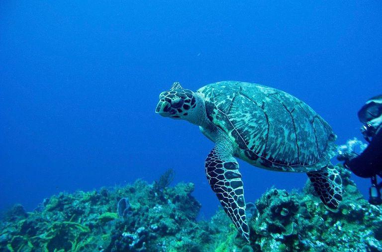Las tortugas marinas pueden morir por comer solo una pieza de plástico