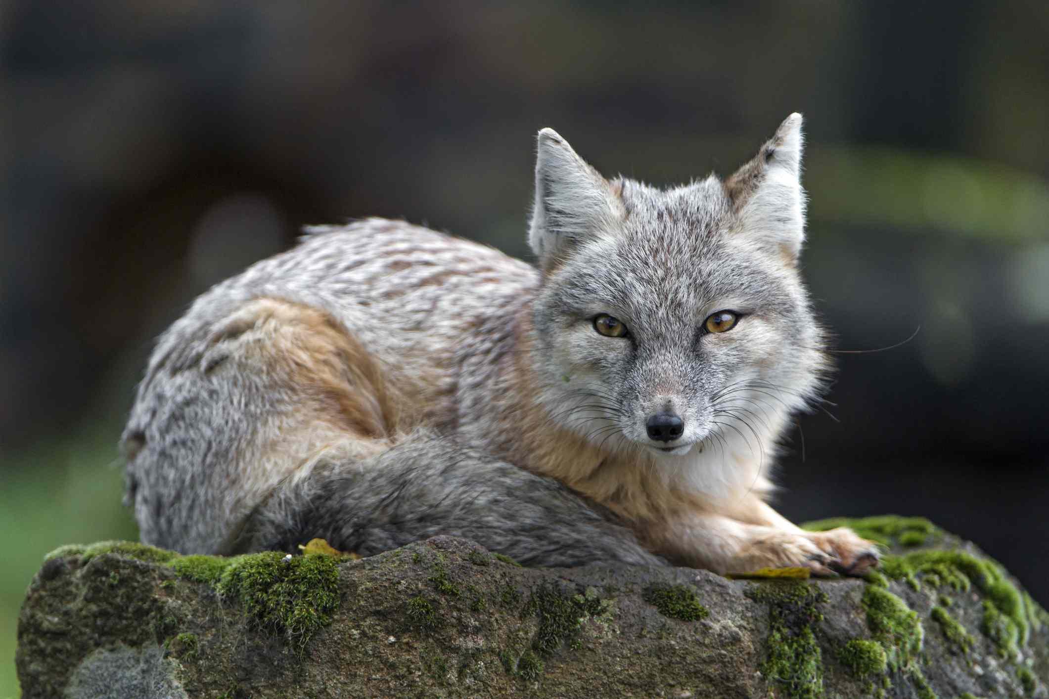 Corsac fox lying and posing well