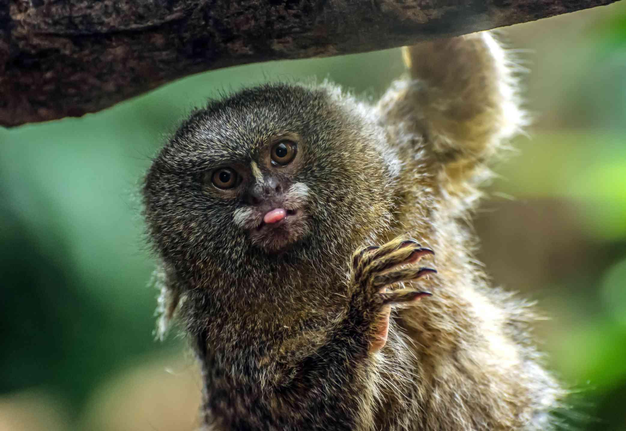 pygmy marmoset sticking out its tongue