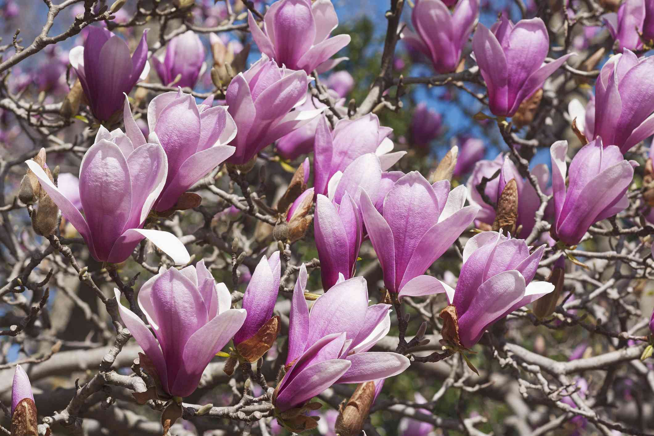 Pink blossoms on a Verbanica saucer magnolia tree.