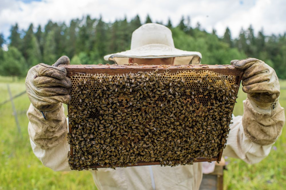 Beekeepers can cover hives with burlap to protect them from pesticides.