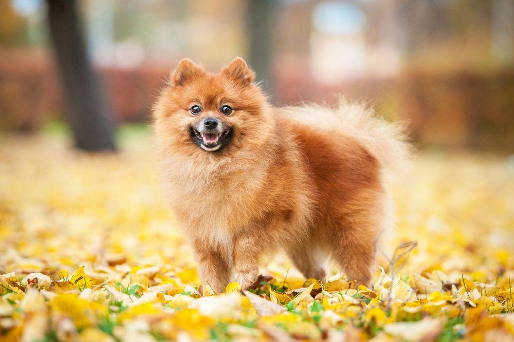 An orange Pomeranian standing in leaves