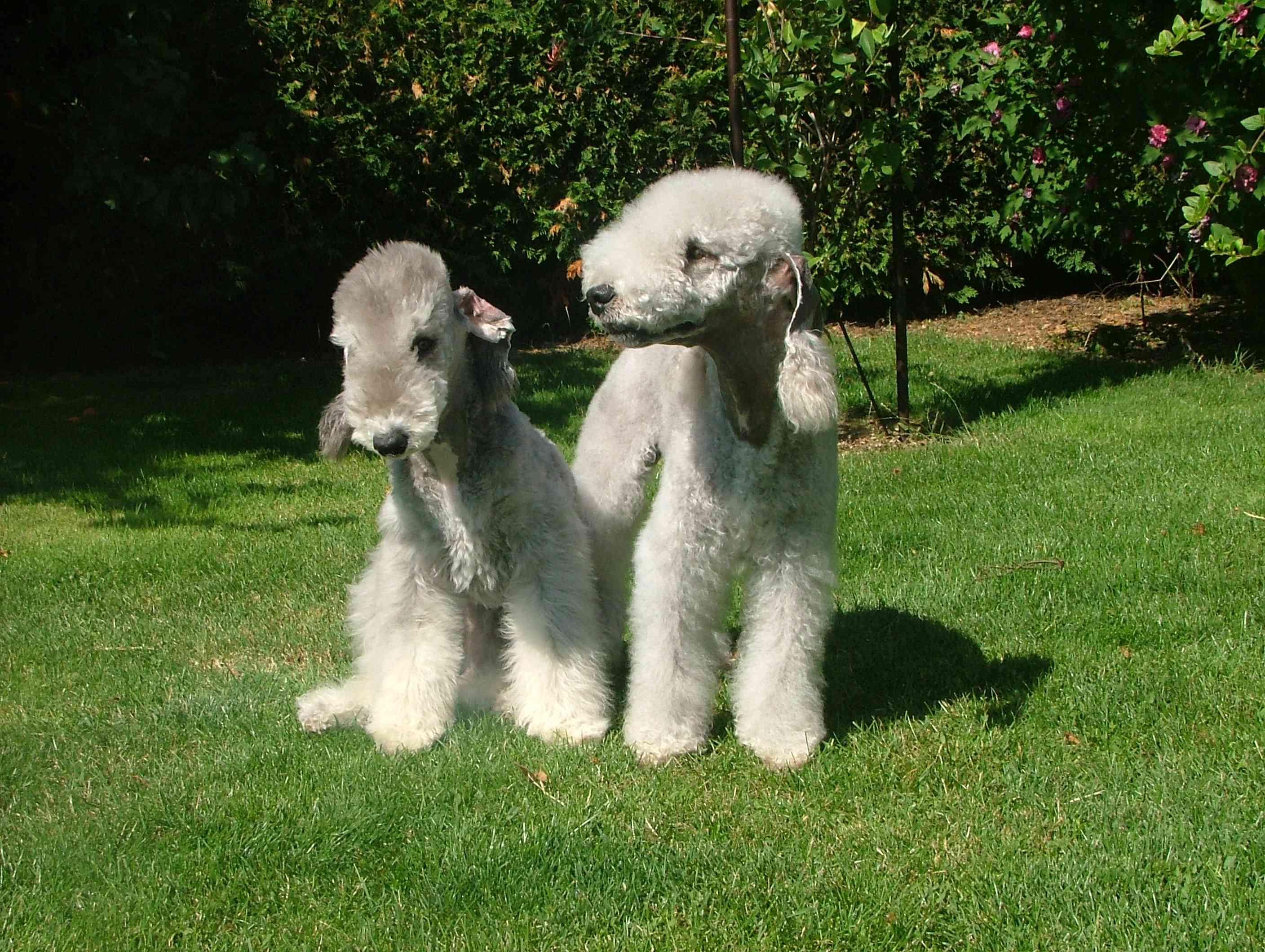 two young Bedlington terriers sitting on a lawn with trees behind them