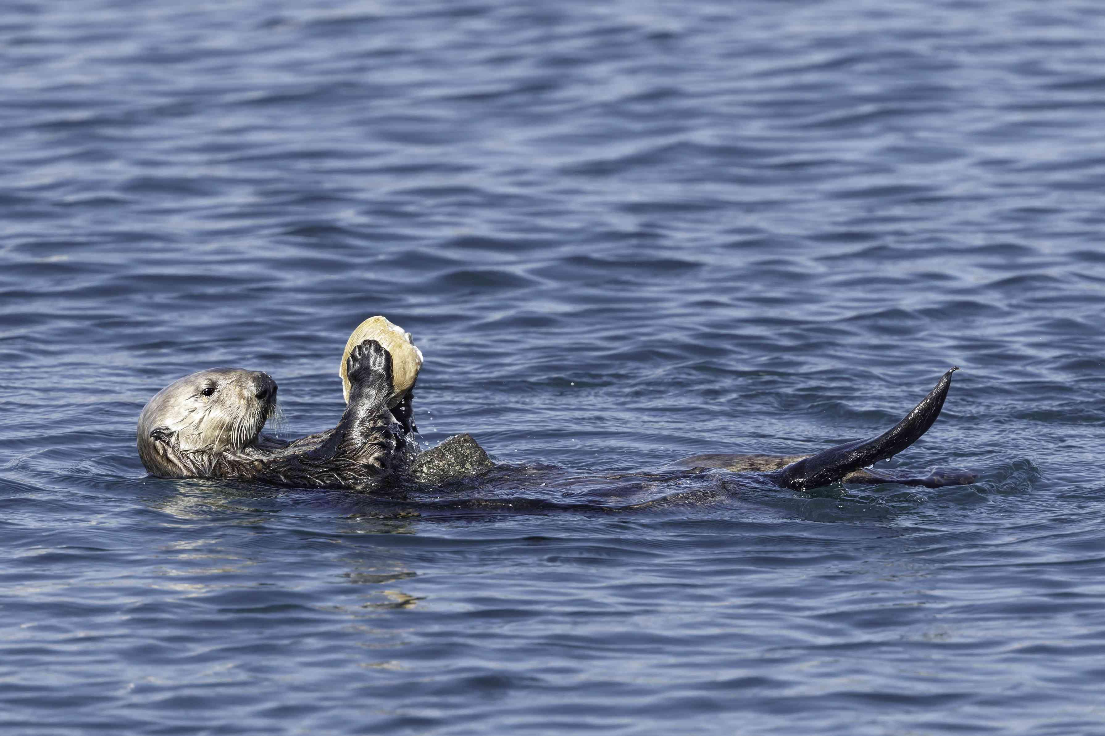 Sea Otter breaking open a clam