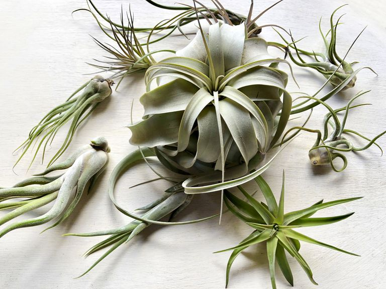Variety of green air plants