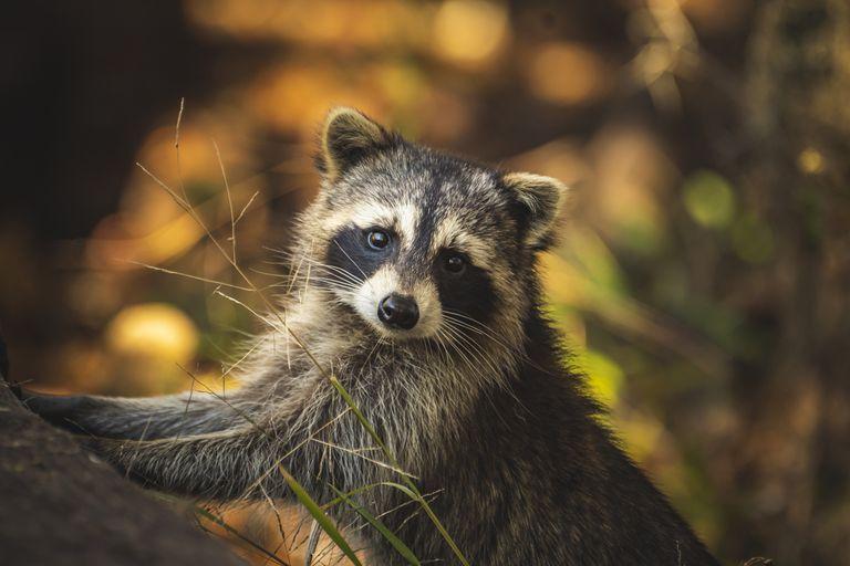 Raccoon posing