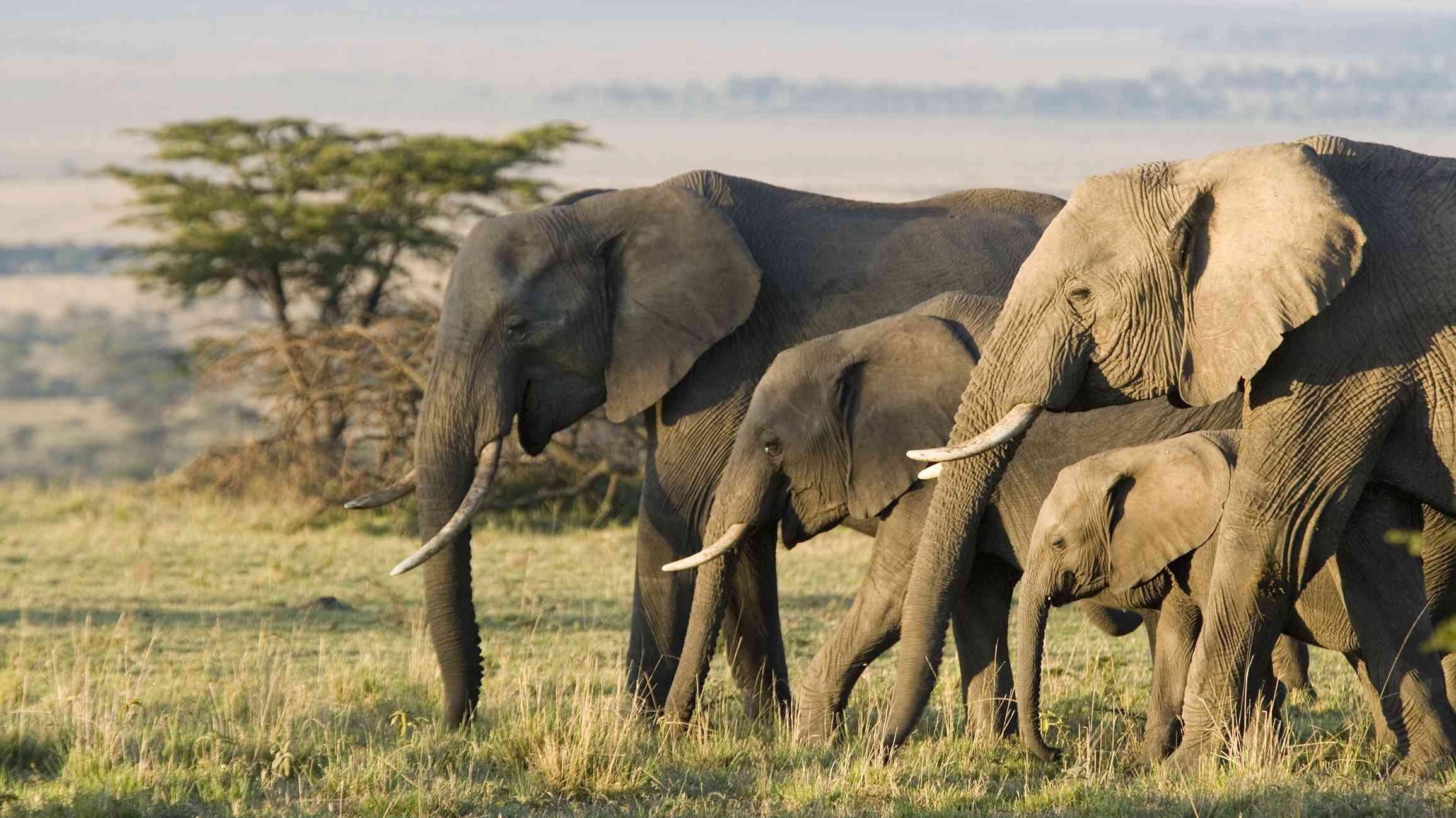 Group of African elephants walking