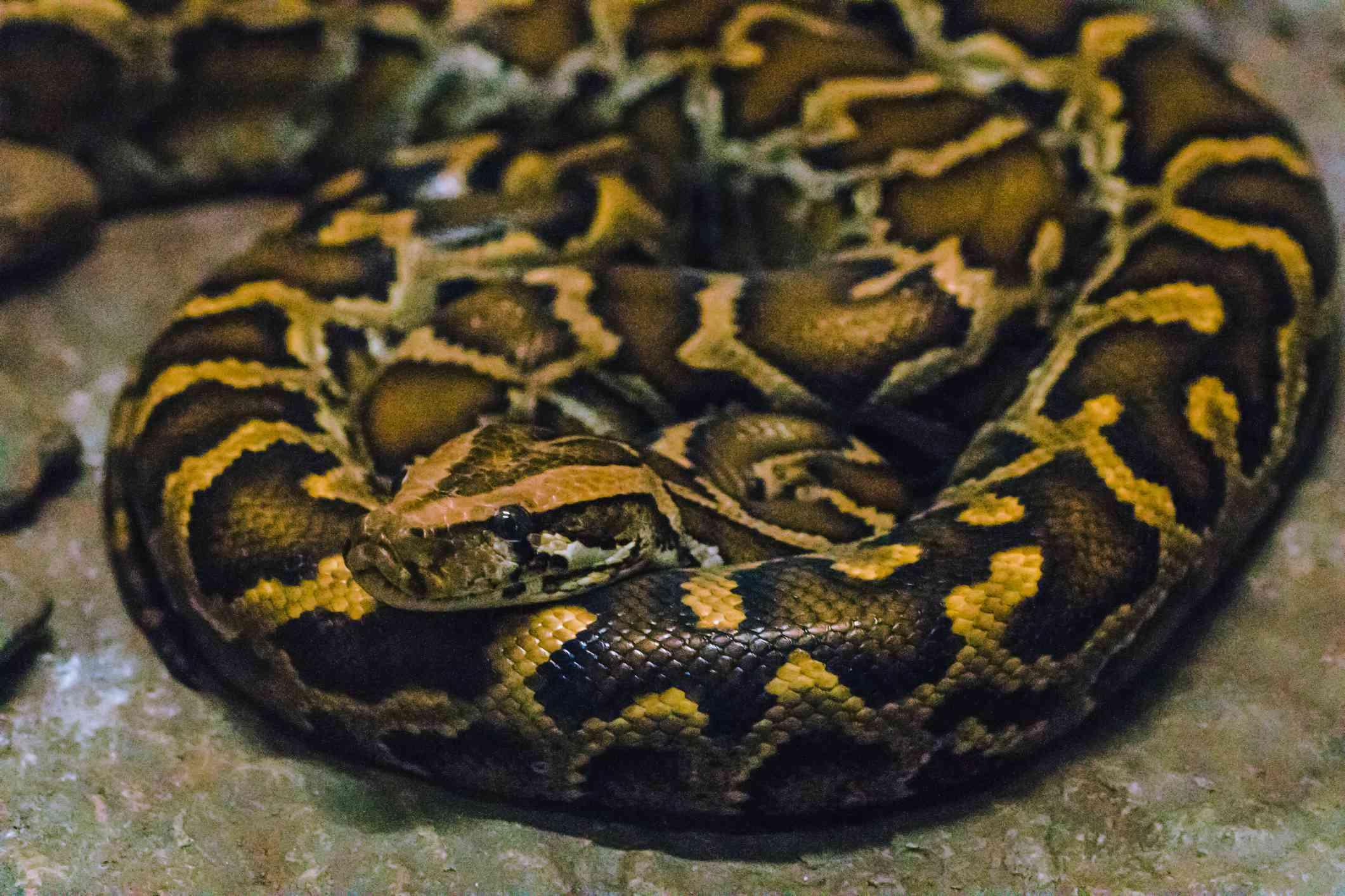 close up of burmese python coiled body