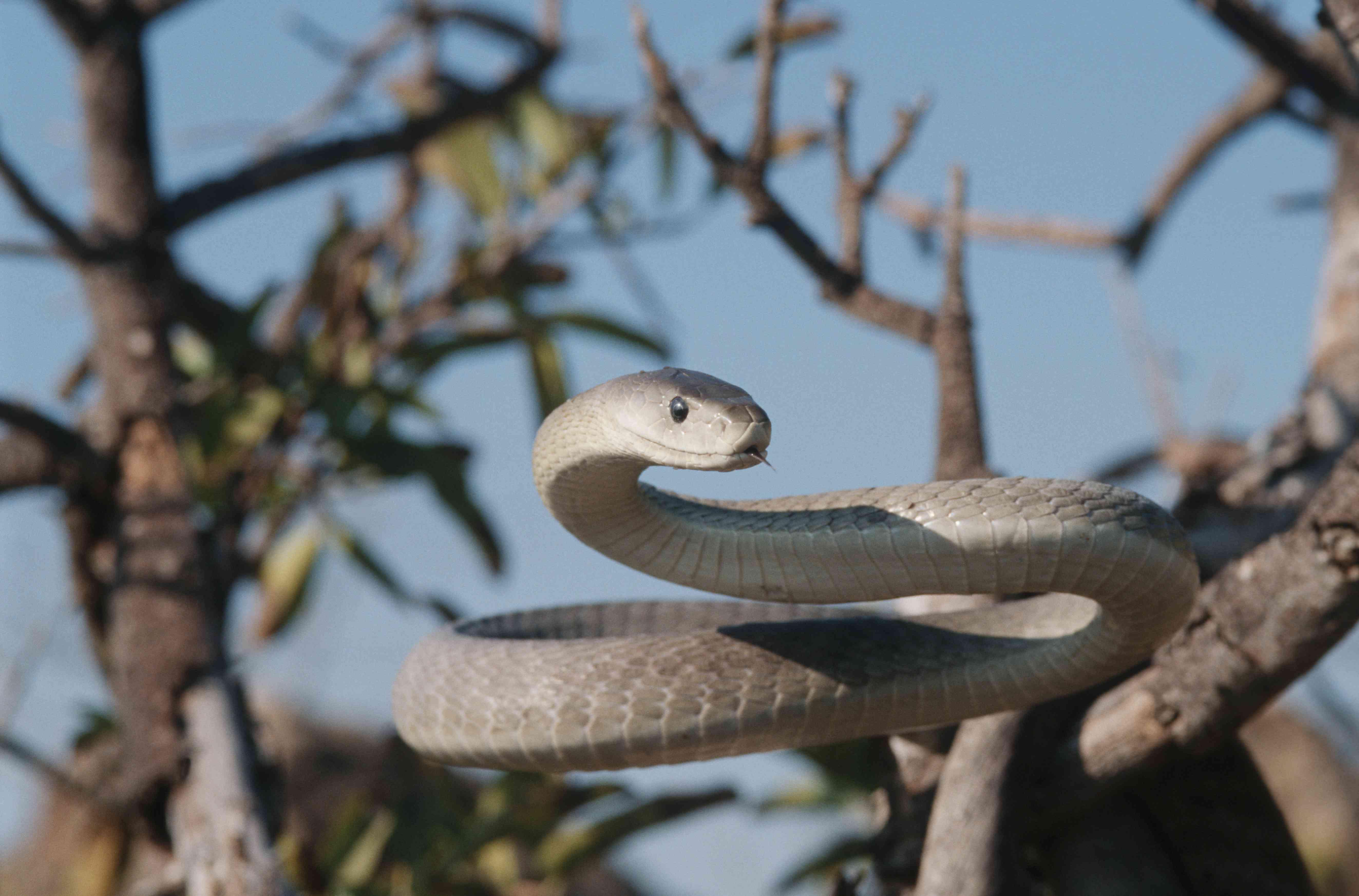 Black Mamba on alert in a tree