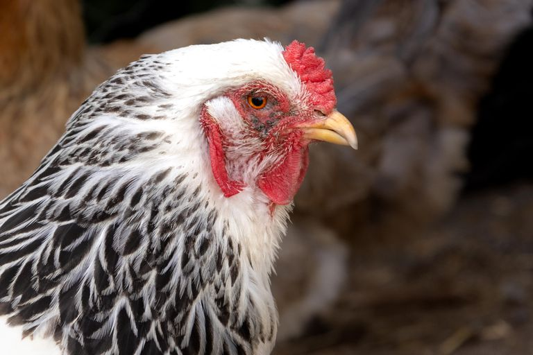 profile view of chicken with red wattle and black and white feathers