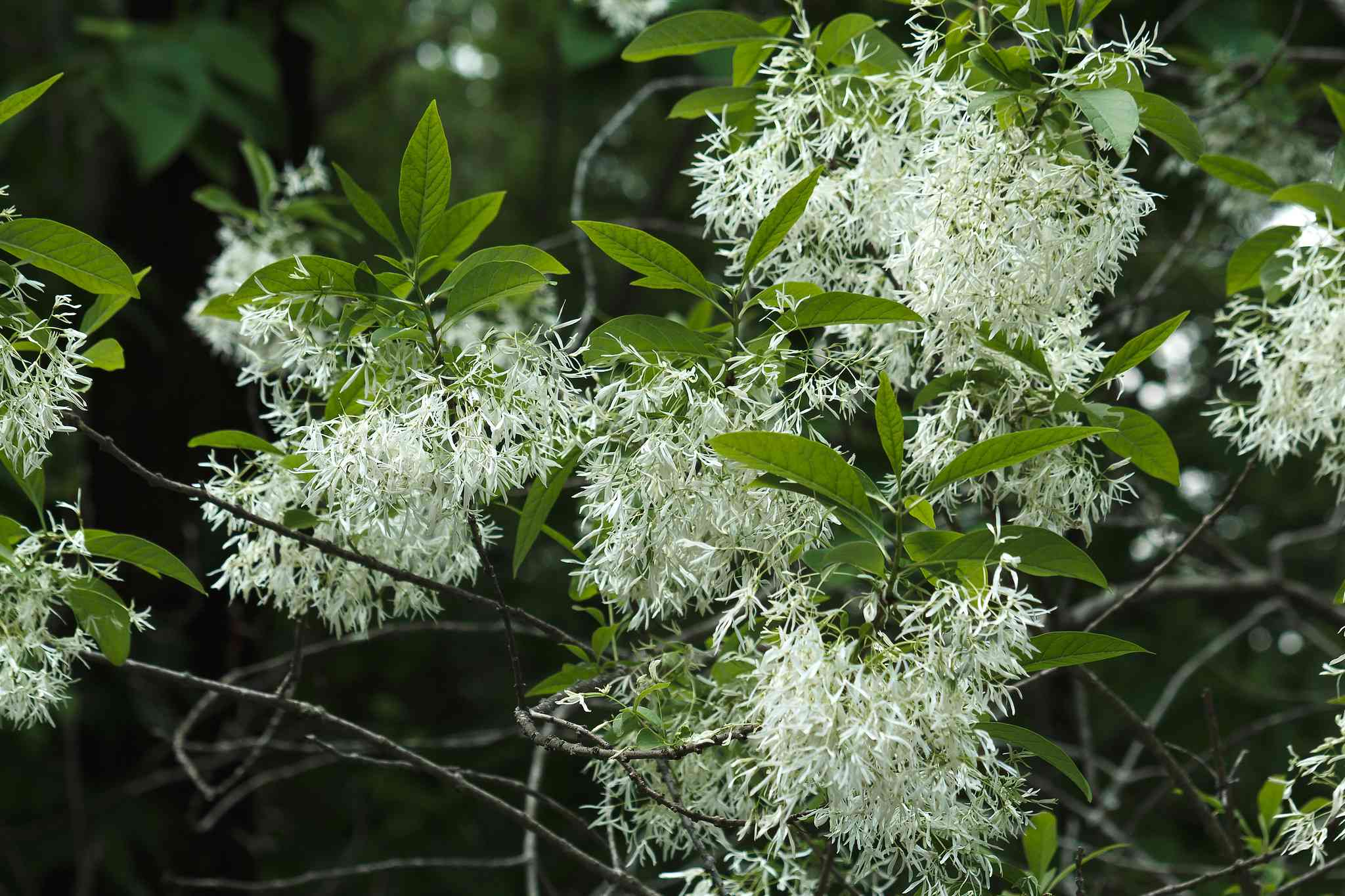 Close up shot of white blossoms and green leaves of a Fringe tree.