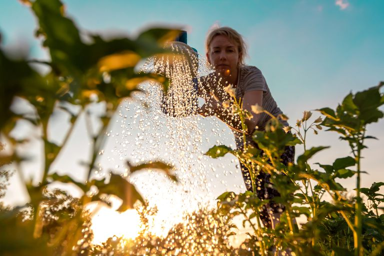 Woman cares for plants, watering green shoots from a watering can at sunset. Farming or gardening concept